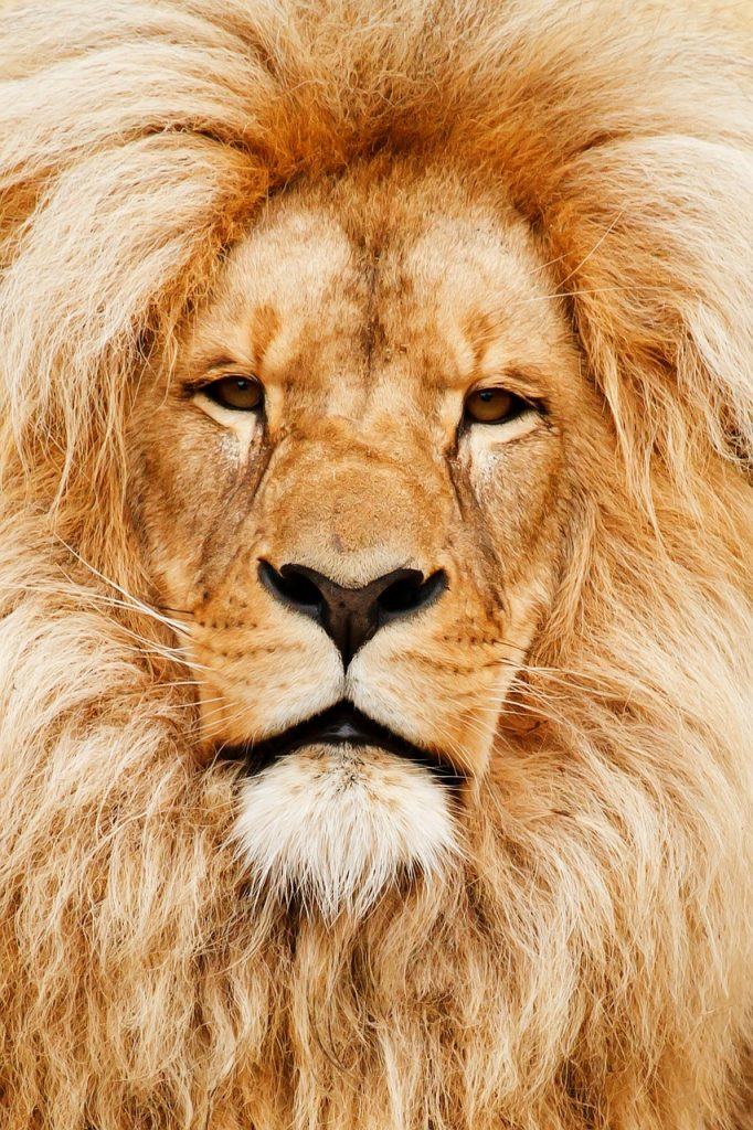 Lion Watching Southern African Tours