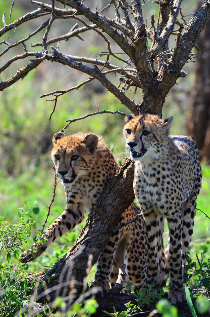 Photo of Cheetah in the Kruger Park